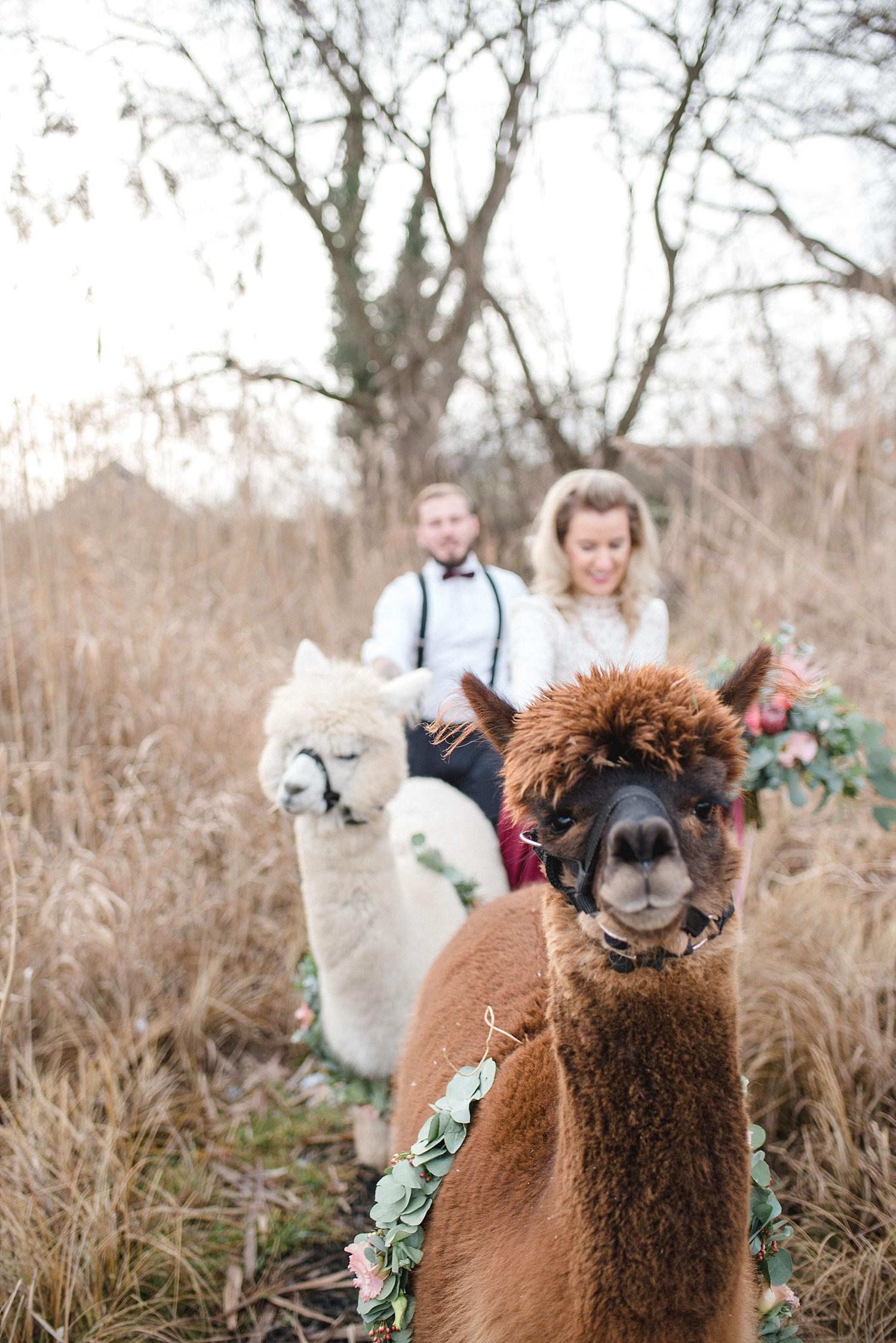Alpakas Als Hochzeitsgaste Wedding